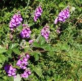 Flores y zarzas salvajes de las dedaleras imagenes de archivo