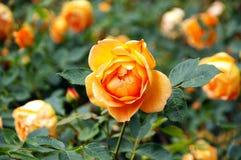 Florescência Fotografia de Stock