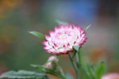 Florescência Foto de Stock