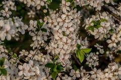 Florescência abundante da árvore no meio da mola fotos de stock royalty free