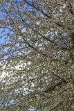 Floresc?ncia abundante de ?rvores de ma?? na mola no parque imagem de stock royalty free