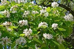 Florescência abundante de bignonioides comuns Walter de um Catalpa do catalpa foto de stock