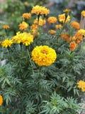 florescência amarela dos cravos-de-defunto imagens de stock
