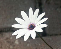 Florescência apesar das pedras Fotografia de Stock Royalty Free
