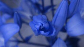 Florescência azul da flor do lírio, abrindo sua flor Lapso de tempo épico Natureza maravilhosa Mundo futurista imagens de stock royalty free