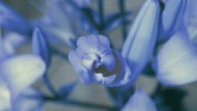 Florescência azul da flor do lírio, abrindo sua flor Lapso de tempo épico Natureza maravilhosa Mundo futurista fotografia de stock