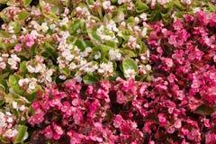 Florescência begônias vermelhas e brancas Imagens de Stock Royalty Free