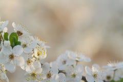 Florescência bonita da árvore de maçã na mola Fotografia de Stock