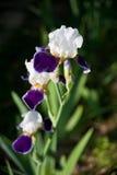 Florescência bonita da íris fotografia de stock royalty free