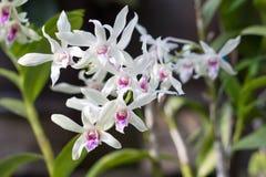 Florescência bonita das flores brancas Fotos de Stock