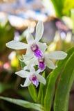 Florescência bonita das flores brancas Imagens de Stock