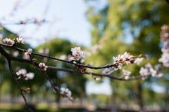 Florescência bonita - Sakura Fundo com flores em um dia de mola Imagem de Stock