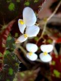 Florescência branca Fotos de Stock Royalty Free