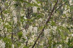 Florescência branca da acácia Ramo de florescência abundante da acácia do pseudoacacia do Robinia foto de stock royalty free