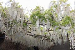 Florescência branca da acácia Ramo de florescência abundante da acácia no jardim foto de stock