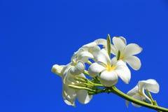 Florescência branca das flores do Plumeria Fotos de Stock