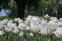 Florescência branca das tulipas Imagem de Stock Royalty Free