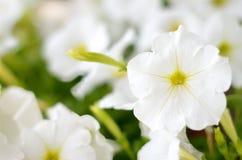 Florescência branca do petunias Fotos de Stock Royalty Free