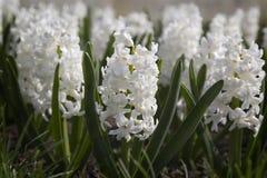 Florescência branca dos jacintos Fotografia de Stock Royalty Free