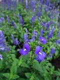 A florescência brasileira azul das flores do boca-de-lobo Imagem de Stock Royalty Free