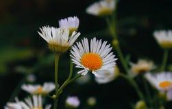 Florescência Camomila O campo de florescência da camomila, camomila floresce em um prado no verão, foco seletivo Fotos de Stock Royalty Free