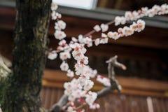 Florescência chinesa das flores da ameixa Fotografia de Stock Royalty Free