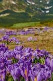 A florescência colorida do açafrão floresce em montanhas Carpathian no fundo borrado Foto de Stock Royalty Free