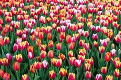 Florescência colorida dos campos de flor da tulipa imagem de stock