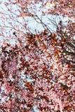 Florescência com uma árvore cor-de-rosa Fundo Foto de Stock