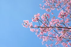 Florescência completa das flores de Sakura ou de flor de cerejeira Imagem de Stock Royalty Free