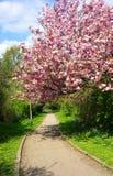 Florescência cor-de-rosa da árvore de cereja Imagens de Stock