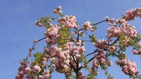 Florescência cor-de-rosa da cereja Foto de Stock
