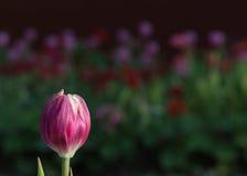 Florescência cor-de-rosa da flor das tulipas Fotografia de Stock