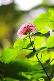 Florescência cor-de-rosa das flores Foto de Stock Royalty Free