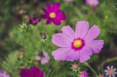 Florescência cor-de-rosa de Moscos fotos de stock