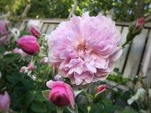 Florescência cor-de-rosa de Rosa foto de stock royalty free