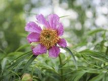 Florescência cor-de-rosa do anomala do Paeonia da peônia imagem de stock