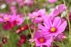 Florescência cor-de-rosa do cosmos Foto de Stock