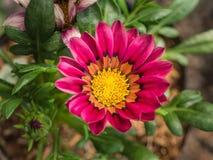 Florescência cor-de-rosa do Gazania imagem de stock royalty free