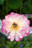 A florescência cor-de-rosa dos arruaceiros Imagem de Stock