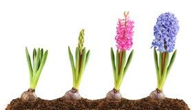 Florescência cor-de-rosa e azul do hyacinth Imagens de Stock Royalty Free