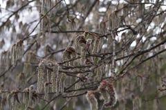 A florescência da árvore começa Fotografia de Stock Royalty Free