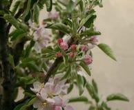 Florescência da árvore de Apple Foto de Stock