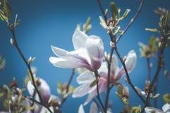 Florescência da árvore da magnólia e céu azul Foto de Stock Royalty Free