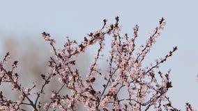 Florescência da árvore da mola vídeos de arquivo