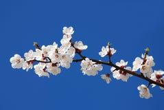 Florescência da cereja foto de stock
