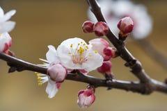 Florescência da cereja Imagens de Stock Royalty Free