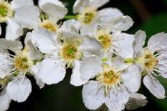 Florescência da cereja de pássaro novo na primavera Fotografia de Stock
