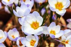 Florescência da flor da mola do açafrão Fotografia de Stock