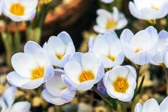 Florescência da flor da mola do açafrão Imagem de Stock Royalty Free